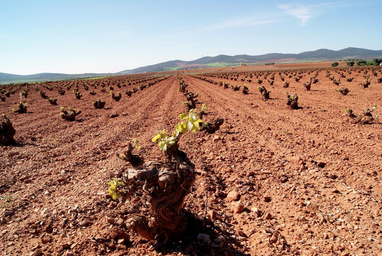 Los viticultores de Castilla -La Mancha han recibido ya 8,5 millones de euros por reestructuración del viñedo en esta campaña